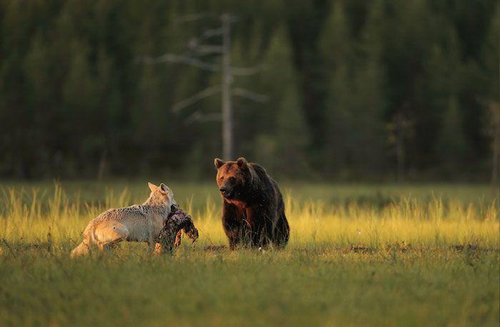 rare-animal-friendship-gray-wolf-brown-bear-lassi-rautiainen-finland