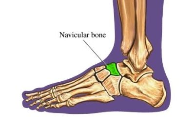 N is for Navicular, one of the tarsal bones and the main insertion point for one of the plantar-flexor muscles. (Sept is #literacymonth; join in #ABCsForLiteracy, with @Heather Flores Price Books )