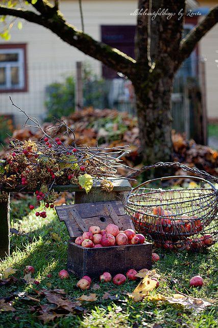 Appeltjes oogst