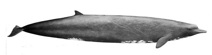 Incroyable : une nouvelle espèce de baleine a été découverte ! | SooCurious