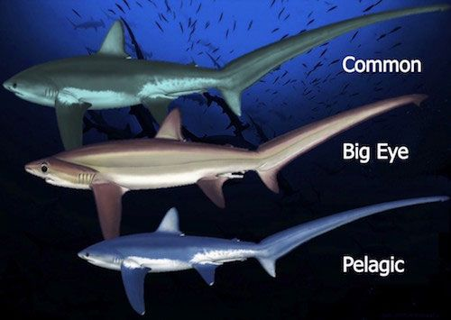 different species thresher shark