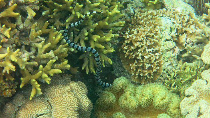 Indonesia - Wakatobi - Wakatobi Dive Resort - Banded Sea Krite