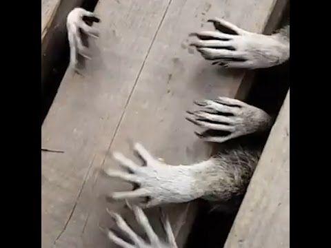 Beware The Spooky Raccoon Hands - YouTube