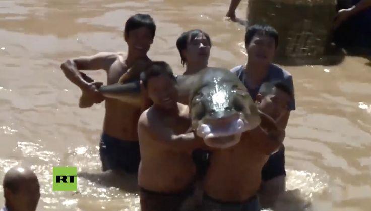 Chinos se lanzan a pescar enormes carpas en un festival de China