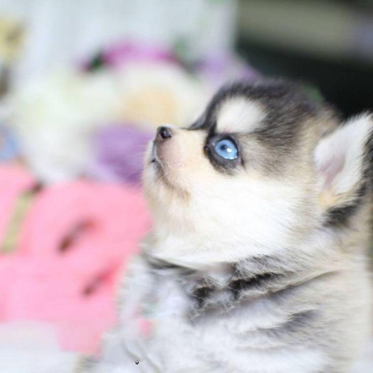 Aurora Tiny Teacup Pomsky Posh Pocket Pups Puppy