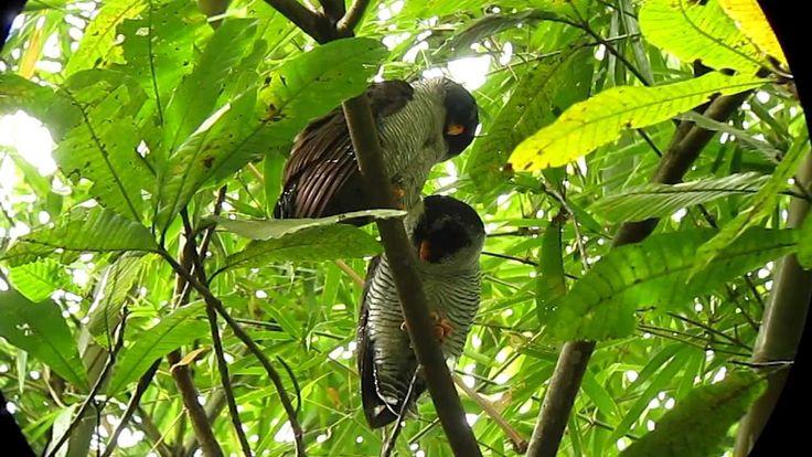 Black-and-white Owl 1 - Ciccaba nigrolineata - Minca, Santa Marta Mts.