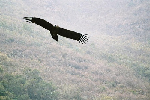 Condor, Peru (analog photography)