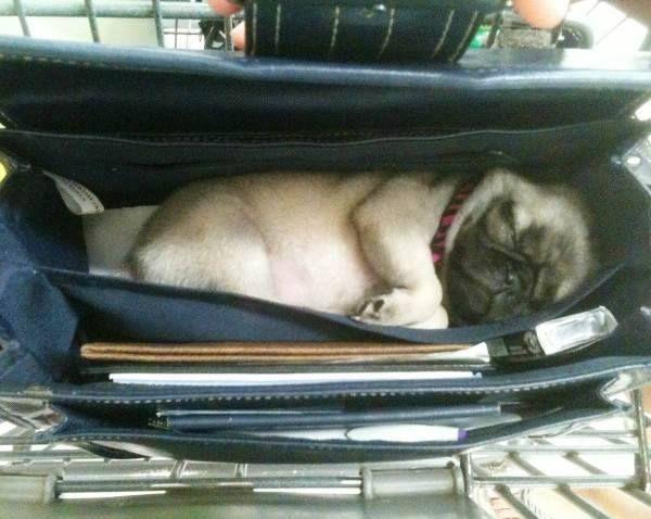 Pugs can sleep anywhere! https://t.co/FNSbUoSK7j