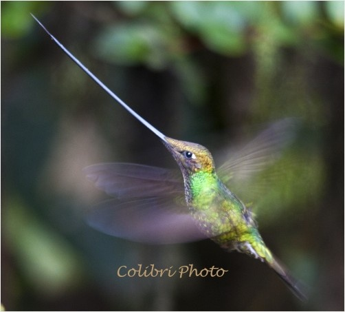 The Sword-billed Hummingbird is a unique and fascinating hummingbird of the high Andean rainforest.