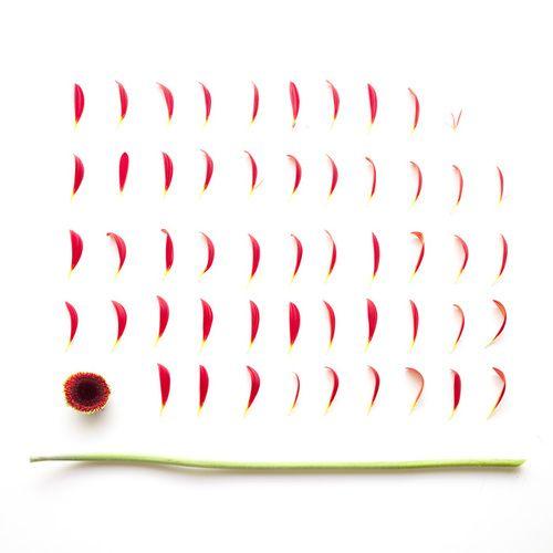 Sarah Blythe - Deconstructing Flora 2011 - Gerbera www.sarahblythe.com