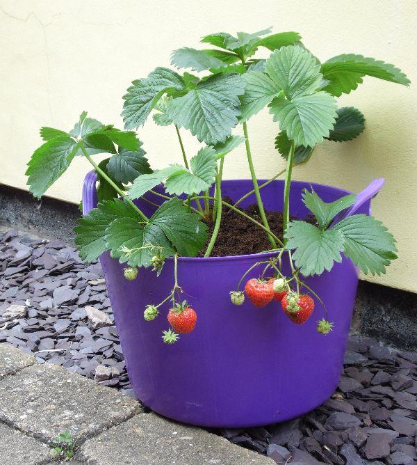 Tasty home-grown Strawberries growing in a 15 Litre Purple Rainbow Trug www.rainbowtrugs.com
