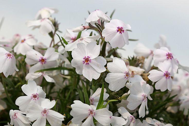 Teppich Flammenblume White Delight - Phlox subulata White Delight günstig online kaufen #Staude #Blüte #Blume #Garten #Natur #Gestaltung #Pflanze #Sommer #Sonne #Frühling #Schön #Fotografie  #Phlox