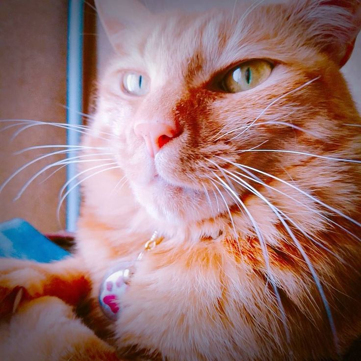 心配ないさぁあああああああああああ . 茶巾ライオンですฅωฅニャー . モフモフが タテガミに見えなくもないwww . #大西ライオン #ねこ #猫 #ぬこ #cat #catlover #instacat #kitty #茶トラ #小黄 #ねこちゃん#ねこちん #にゃんこ #고양이 #mèo #야옹 #야옹이  #ちゃきん #ちゃきんずし #ChakinZushi #モフモフ ᴥ #凛々しい