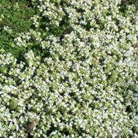 Vijver en Tuincentrum Pelckmans: Thymus serpyllum 'Albus'Wilde tijm. Kruiptijm. Vormt heel lage, dichte zoden van kruipende stengels met kleine donkergroene, ovale bladeren, die in de bloeitijd van juni tot augustus geheel zijn overdekt met trosjes kleine witte bloemetjes. Verkiest een plaats in droge, arme grond in de volle zon. Plantafstand 20-25 cm. Hoogte 5cm.
