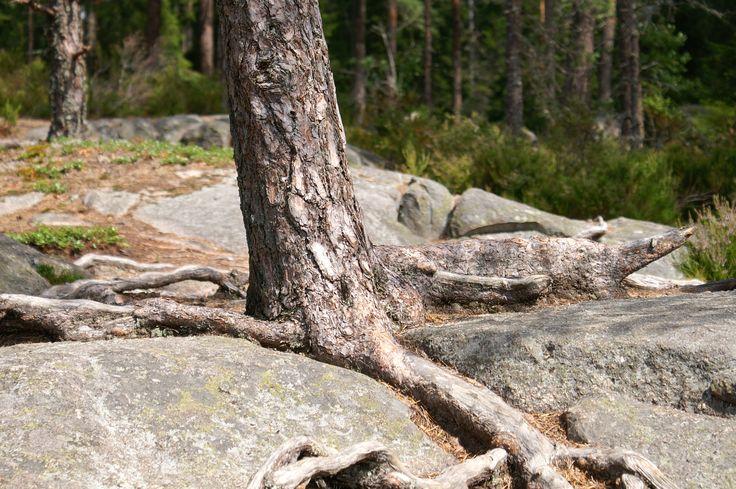 Geworteld op een rots. Smaland Zweden.