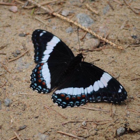 Stampa di farfalla bianca ammiraglio farfalla di OrangePeelPaperie