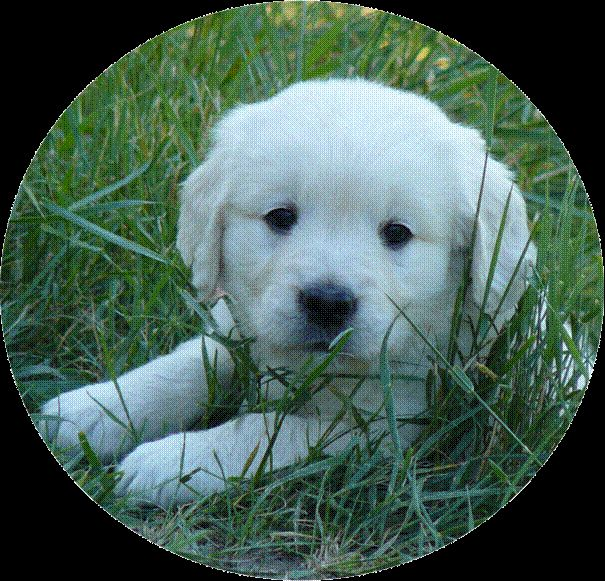 Portees, Litters, Elevage Golden Retriever, Sweet Loving Heart