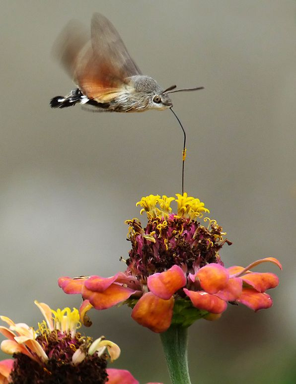 Hummingbird Moth drinking nectar, by Sylvia Lilova