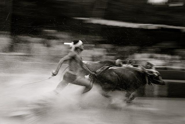 Kambala. Buffalo races in districts of Mangalore