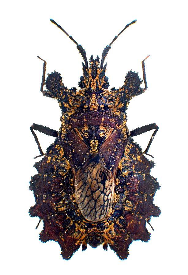 Dysodius magnus                                                                                                                                                                                 More