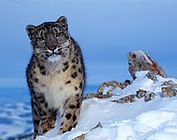 Snow leopard - Klein & Hubert / WWF. Some very interesting facts about snow leopards, and more great photos too!