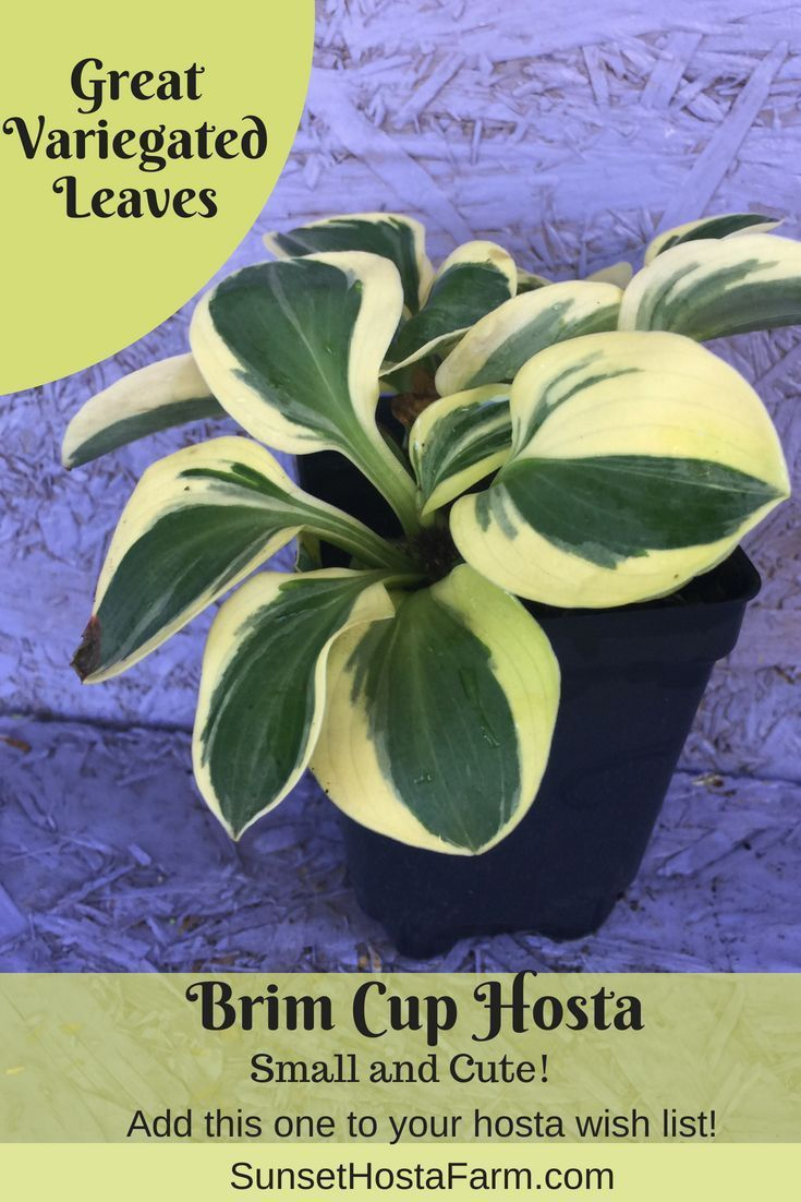 Brim Cup Hosta Is One Of The Cutest Small Hostas Beautiful