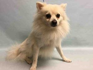 SUPER URGENT 01/01/17 COOKIE aka TOBY- A1092544  *** RETURNED 01/01/17  – DOH HOLD ***  NEUTERED MALE, WHITE, POMERANIAN MIX, 2 yrs, 3 mos RETURN – ONHOLDHERE, HOLD FOR DOH-B Reason BITEPEOPLE Intake condition UNSPECIFIE Intake Date 01/01/2017, From NY 10305, DueOut Date 01/01/2017,  Medical Behavior Evaluation BLUE Medical Summary initial scan positive barh neutered male approx 2 years and 1 month ambx4 nervous and not allowed to handle EENT : wnl nosf Weight 13.0