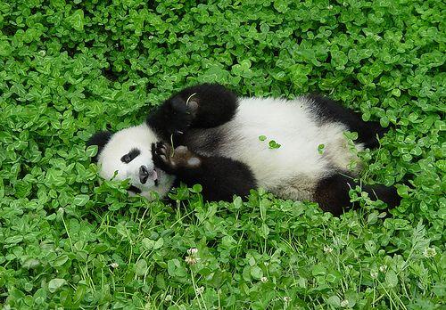 Panda in clover: Pandas Pandas, Funnywildlif Four Leaf Clovers, Fields Of Green Clovers, Funnywildlife Four Leaf, Pandas Bears, Pandabear, Funnywildlifefourleaf Clovers, Photo, Animal