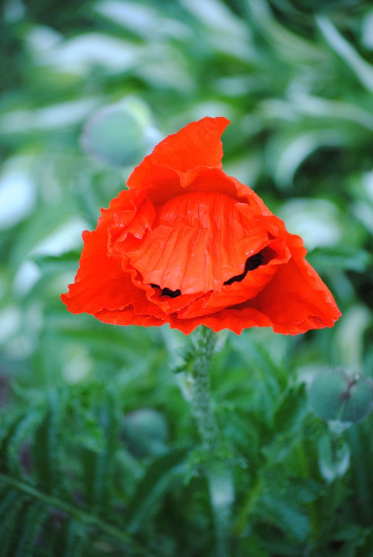 My gardens - the first poppy of the season.