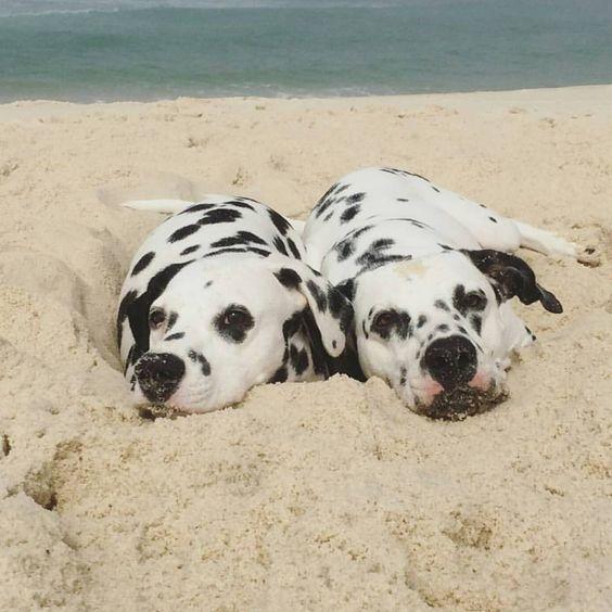 Day on the beach.... Dalmatians