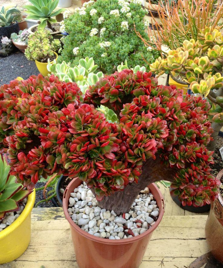 Echiveria Japs Red Crest Echeverias Pinterest Cacti