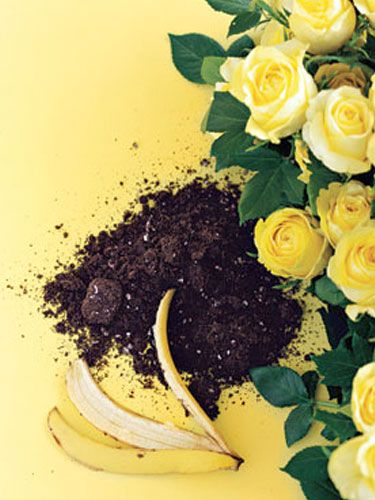Just flatten a banana peel and bury it under one inch of soil at the base of a rosebush. The peel's potassium feeds the plant and helps it resist disease...works for tomato plants too. Hmmmm