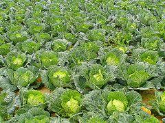Cabbage Soup Recipe   (Krautsuppe)