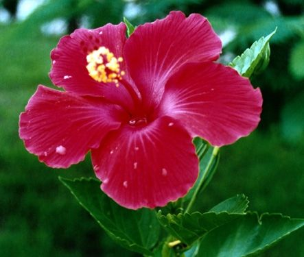How to Take Care of a Hibiscus Plant