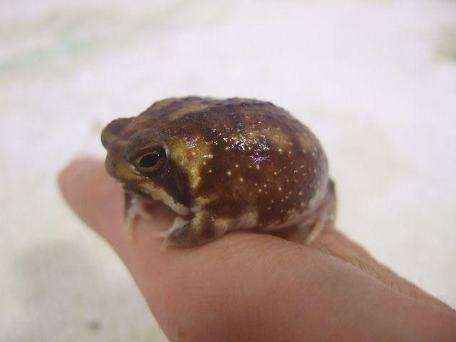 アメフクラガエル ヤング個体 12800 Sold Out 爬虫類 販売 専門店 飼育相談 関西レプタイルプロ かわいいカエル 面白い カエル フクラガエル