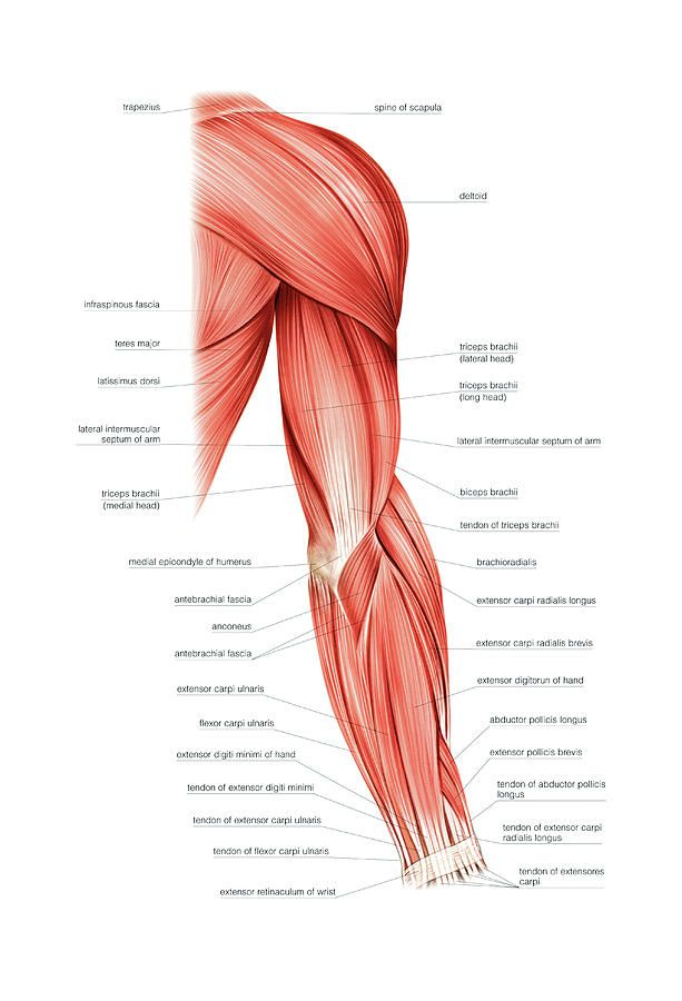 16+ Shoulder arm muscles anatomy ideas