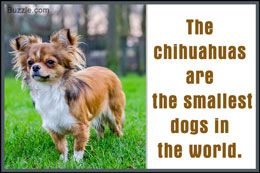 The Good and Not-so-good Traits of Chihuahua Terrier Mix Breeds