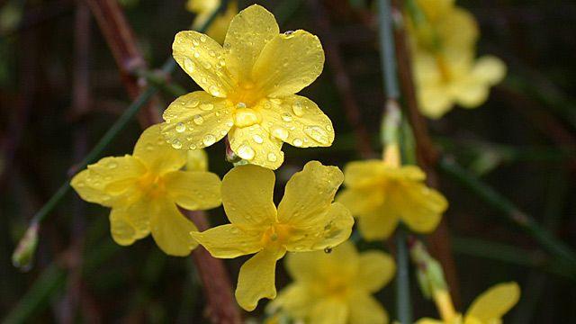 Wenn in der kalten Jahreszeit die meisten Pflanzen ihren Winterschlaf halten, erwachen die Winterblüher erst richtig zum Leben. Einen auffälligen Farbtupfer bringt der Winterjasmin (Jasminum nudiflorum) in die Gärten. Die Blütezeit des Strauchs is...