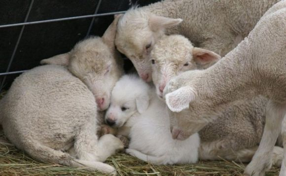 cute sheep and an adorable white puppy