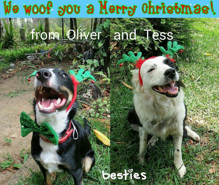Merry Christmas from Oliver Waggly Rascal and BFF Tess.