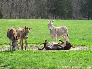Let's roll donkeys 1 by Farmgirl Susan, via Flickr