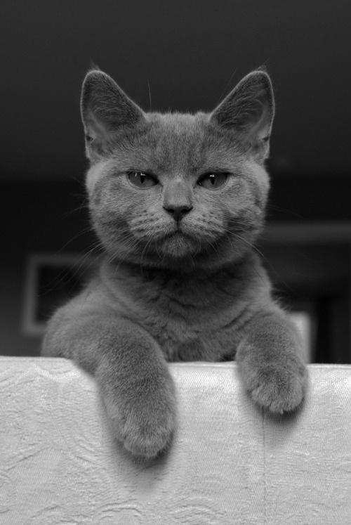 Belleza gris. Me parecen los gatos más increíbles del mundo, oh, los gatos grises.