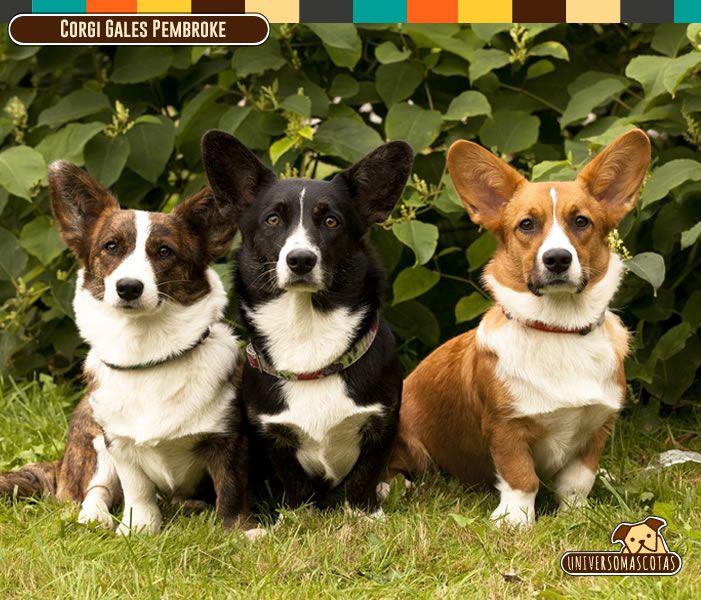 Origen: Reino Unido Tamaño:Pequeño. Conoce más de este obediente y consentido peludo en: http://www.universomascotas.co/razas/perros/corgi-gales-pembroke/143