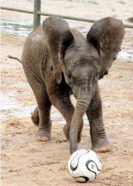 Baby Elephant Playing Football