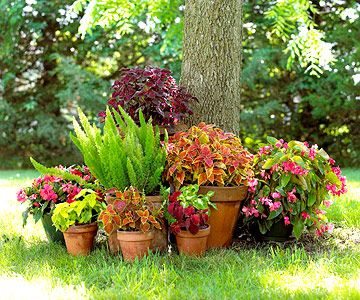 Not sure what to grow under the shade of your tree? Try things out in pots first - looks good and saves on digging in root ridden ground.: Plants Can, Container Garden, Wings Begonia, Foxtail Ferns, Front Yard, Shades Plants, Gardens Plans, Shades Lov, Shades Gardens