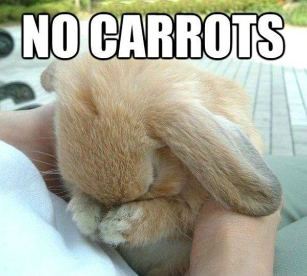 animal pictures with captions, no carrots aww super cute bunny