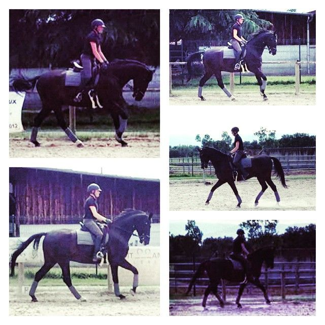 #Hollywood my 6 yo #Gelding by #Hofrat #Gribaldi X #DeNiro #Deutch #Horse #Dressage #Dresaj #TeamTurkey #BlackHorse #Happy #Canter #Trot #LeMieux #ANKY #Equipe ❤️