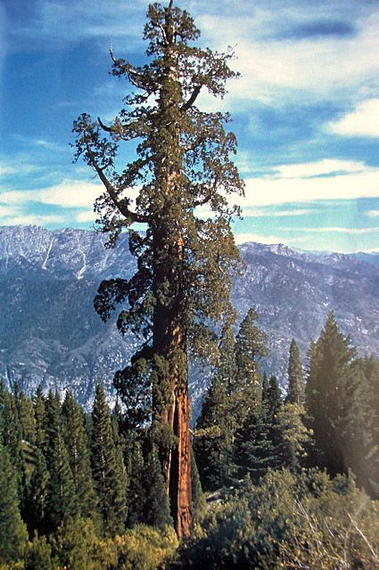 """Sequoia National Park , California Amazing Picture of the """" Hyperion """" sequoia tree. The tallest tree in the world."""