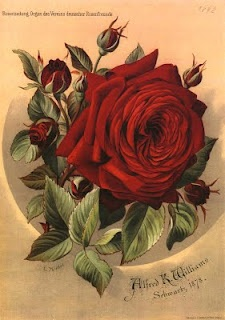 Red rose & buds