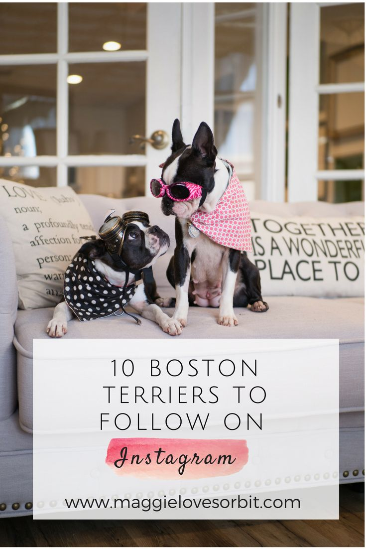10 of our favorite boston terrier dogs to follow on Instagram